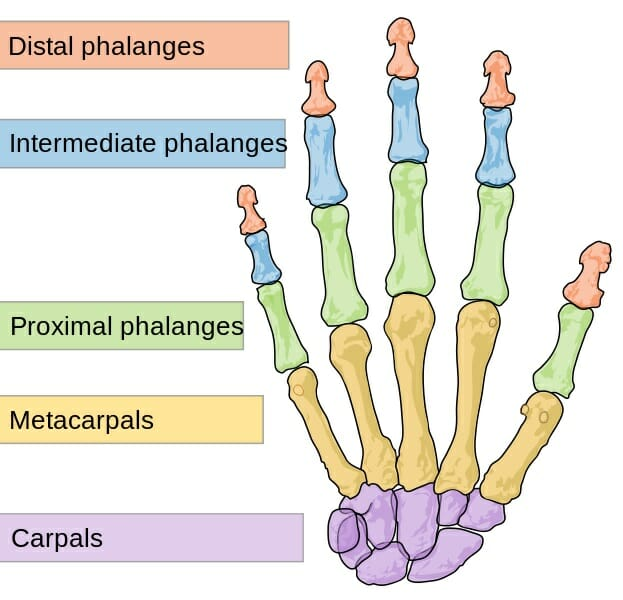 Phalanx - Definition, Types and Functions | Biology Dictionary