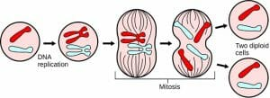 Major events in mitosis