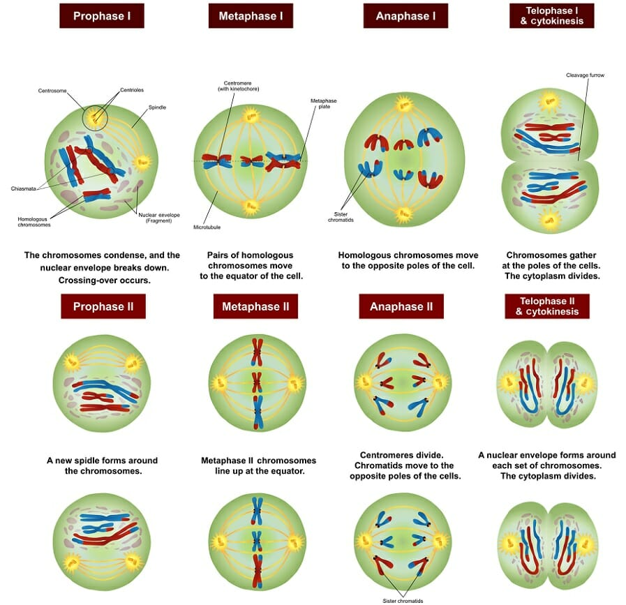 Meiosis definition stages function and purpose biology dictionary meiosis stages ccuart Images