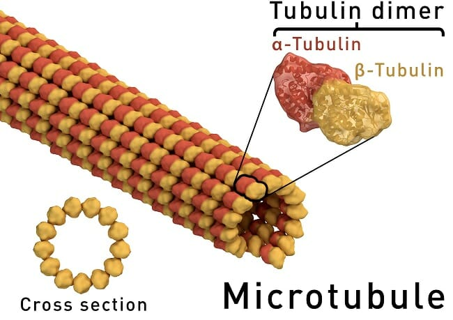 Microtubule structure