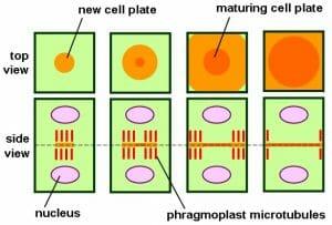 Phragmoplast