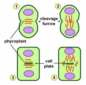 Phycoplast