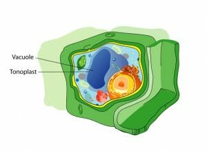 Plant cell structure vacuole
