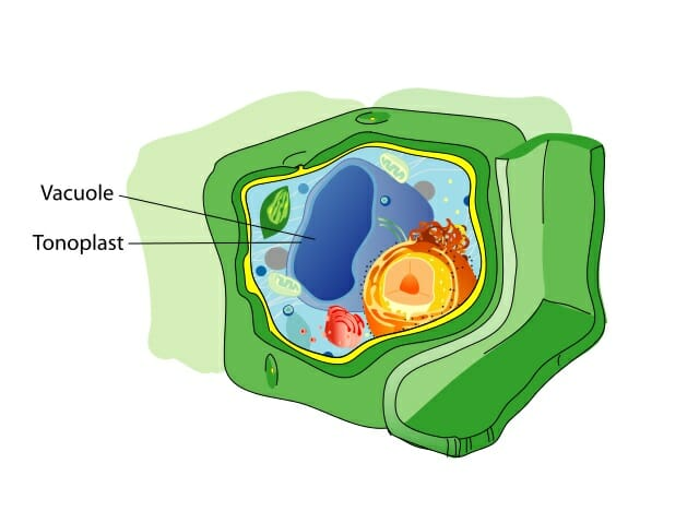 Vacuole - Definition, Structure and Functions | Biology