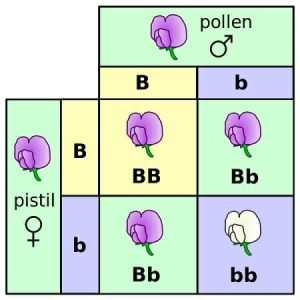 Punnett square mendel flowers