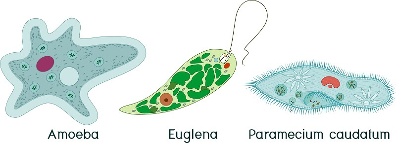 Protozoans include a diverse range of species that are very distantly related and fill a variety of niches in nature.