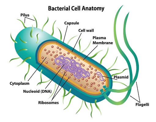 Prokaryotic Cell - Definition, Examples & Structure | Biology DictionaryBiology Dictionary