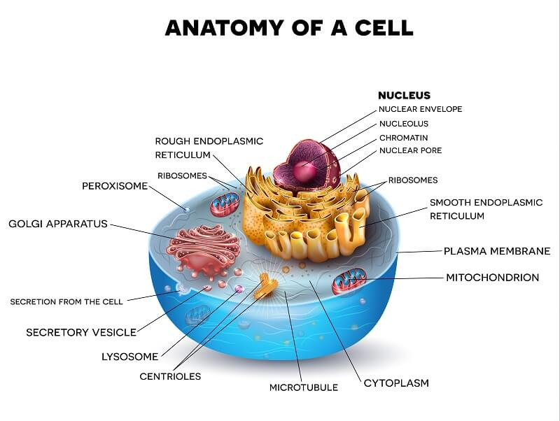 An animal cell contains many different organelles, though it does not have a cell wall or chloroplasts.
