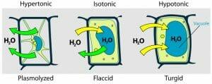 Turgor pressure on plant cells