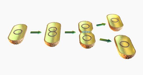 Binary fission in bacteria