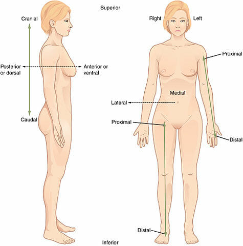 Anatomical Position Definition And Function Biology Dictionary