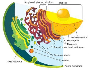 Endomembrane system diagram