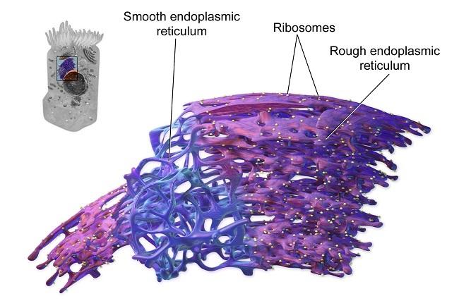 endoplasmic reticulum - definition, function and structure endoplasmic reticulum diagram