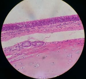 Human pseudostratified ciliated columnar epithelium