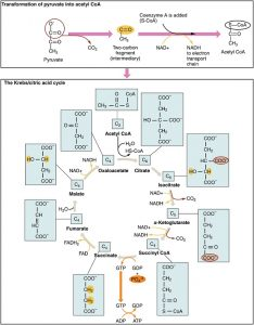 Krebs Cycle diagram