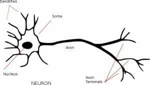 Neuron annotated
