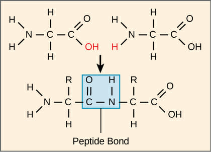 Image result for peptide bond