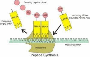 Peptide syn