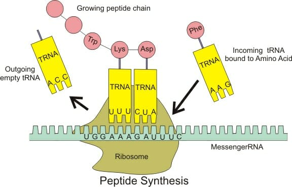 Peptide Bond Definition And Formation Biology Dictionary
