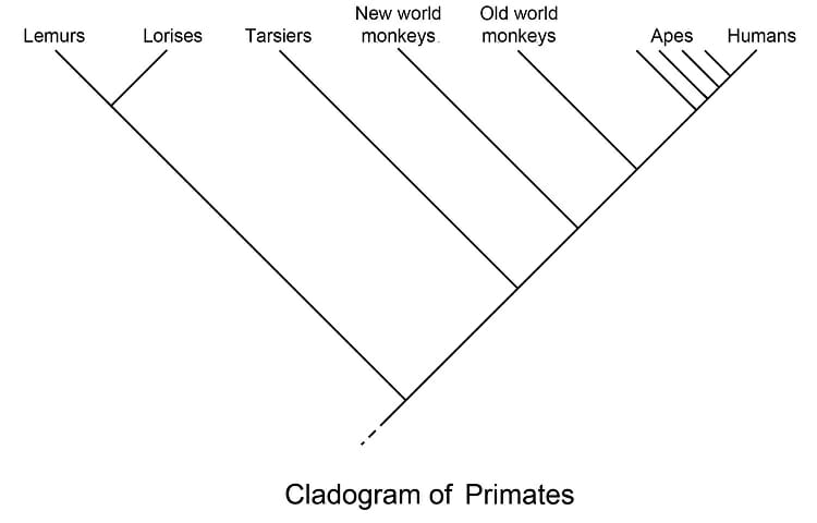 Cladogram definition and examples biology dictionary for Template definition biology