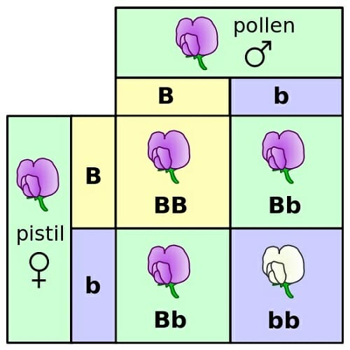 Genetics definition history and impact biology dictionary punnett square mendel flowers malvernweather Choice Image
