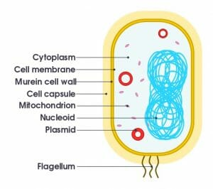 Simple diagram of bacterium