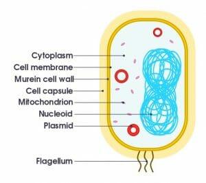 Simple diagram of bacterium