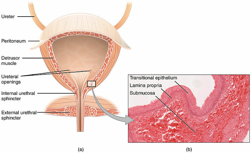 Image result for transitional epithelium function