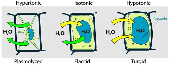 Hypotonic Solution Definition And Examples Biology Dictionary