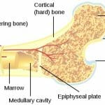 Difference between Spongy Bone and Compact Bone