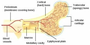 Bone cross-section