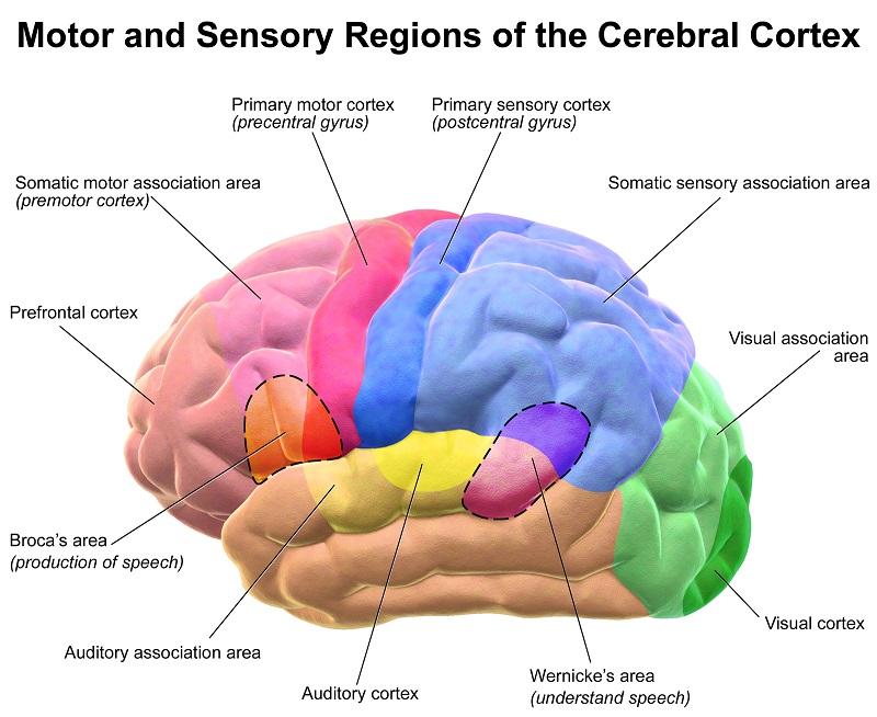 Brain Motor and Sensory of the Cerebral Cortex