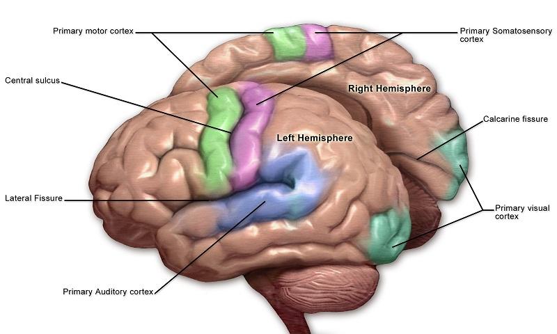 Brain Sensory Motor