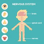 how does the nervous system work with other systems to maintain homeostasis