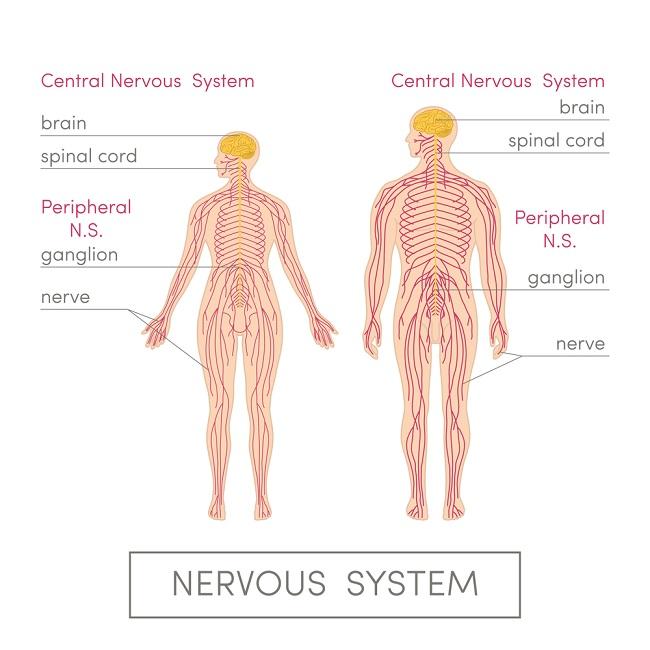 Central Nervous System Diagram