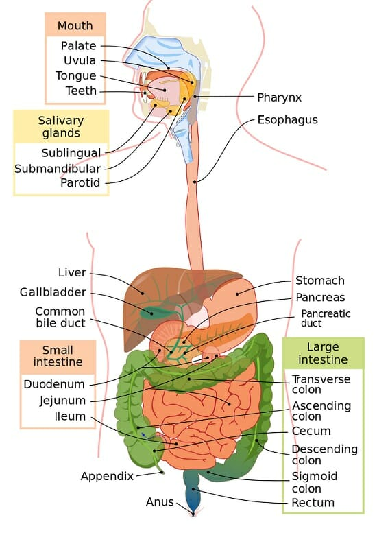 Digestive system definition function organs diseases for Floor function definition