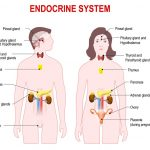 Endocrine System Fun Facts