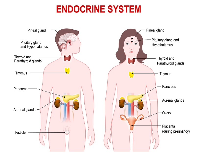 Endocrine System Definition Function Organs Diseases Biology
