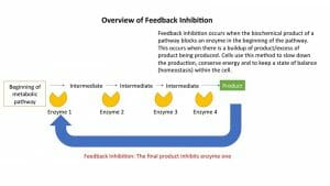 Feedback Inhibition Overview
