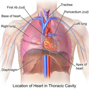 Heart Thoracic Cavity
