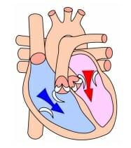 Heart diastole