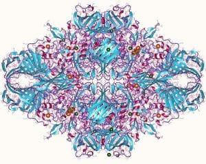 Lactase Structure