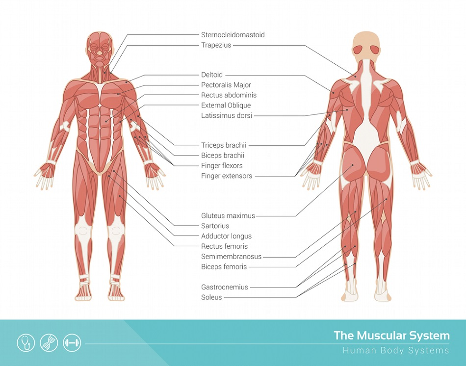 Muscular System - Definition, Function and Parts | Biology