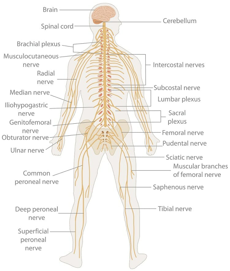 Work of the nervous system diagram introduction to electrical nervous system definition function organs diseases biology rh biologydictionary net digestive system diagram nervous system diagram labeled ccuart Image collections