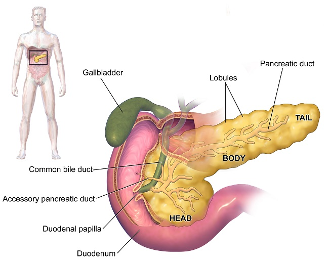 Digestive System - Definition, Function, Organs & Diseases | Biology ...