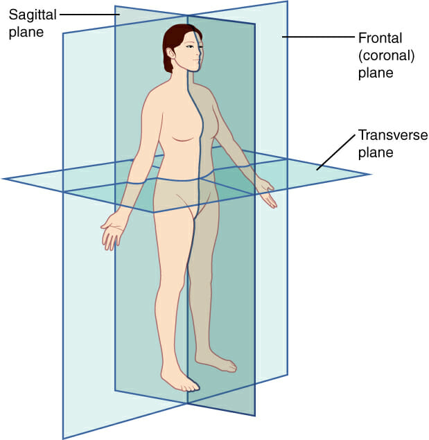 Sagittal Plane Definition And Quiz Biology Dictionary