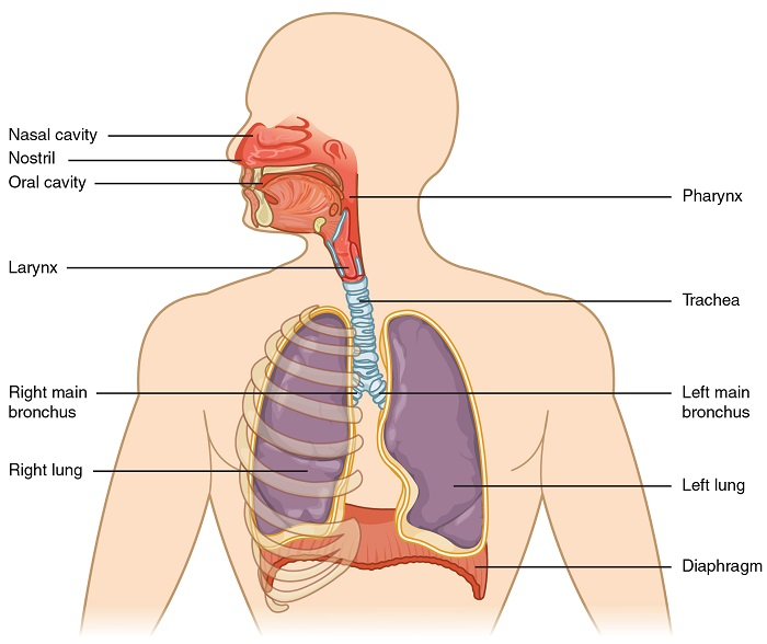 respiratory system - definition, functions, organs & diseases, Skeleton