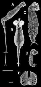 Pseudocoelomate