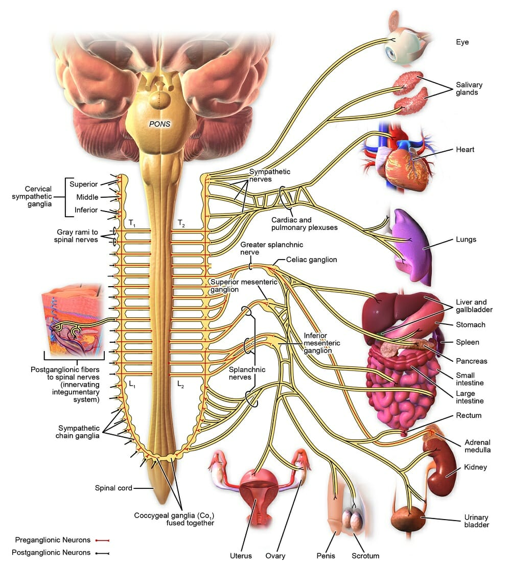 Sympathetic Nervous System Definition Function Examples