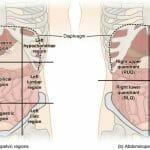 Abdominal Cavity